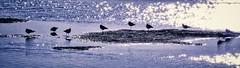 The Birds - HSS (Feathering the Nest) Tags: llanelli wwt hss sliderssunday birds sunlight shimmery wetlands winter 20january2017 birthday treat cold sunny sunshine dry
