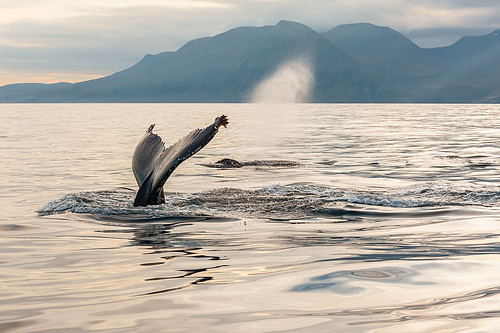 Iceland - Dive and blow, two humpbacks close together