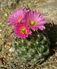 Escobaria hesteri (l.e.violett) Tags: cactus flower cultivated escobaria hesteri arizona pse