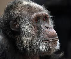chimpanzee Burgerszoo JN6A1528 (j.a.kok) Tags: chimpanzee chimpansee pantroglodytes burgerszoo mensaap primaat primate aap ape monkey mammal zoogdier afrika africa