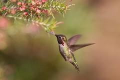 Anna's Hummingbird (Andrej Chudy) Tags: bird wild wildlife travel wings cute hummer santacruz arboretum canon600mmf4isusm canon1dmarkiv markiv usa america male spring nectar flowres fly animal beauty green red