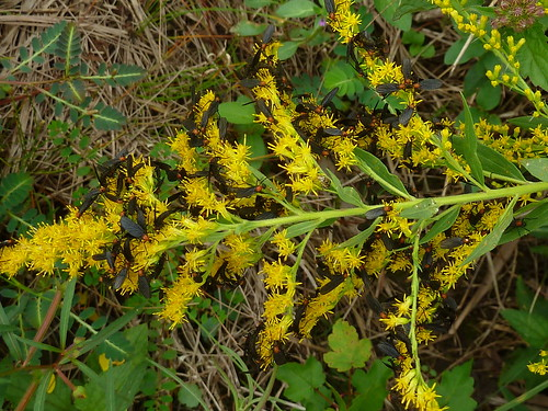 Goldenrod reducing the love bugs on the highway :)