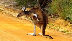 A Kangaroo ITCH.... (Lani Elliott) Tags: nature naturephotography kangaroo roo pounch hop jumping hopping itch fur furry westerngreykangaroo westernaustralia australia wildlife australianwildlife