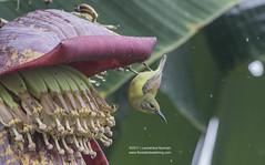 Nectarinia jugularis, Olive-backed Sunbird, Burung Madu Sriganti (PT. Flores Exotic Tours) Tags: nectariniajugularis sunbird birding olivebackedsunbird burungmadusriganti labuanbajo floresisland indonesia
