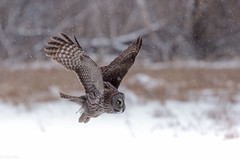 Chouette Lapone / Great gray owl (Roy Yves) Tags: yvesroy lapone chouette chouettelapone greatgrayowl owl hibou