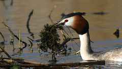 Also nest building... (Cosper Wosper) Tags: gcg greatcrestedgrebe nesting weed water westhay somerset levels