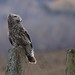 Great Gray Owl Watching the Crows (Leslie Abram) Tags: