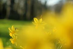 Daffodils in the Park (pallab seth) Tags: macro dof spring flower barking park england london signofspring bokeh nature daffodil garden springgarden barkingpark yellow blue 2017 samsung60mmf28macroedoisssalens samsungnx1