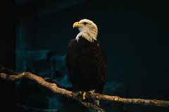 bald eagle usa us freedom cage charleston aquarium