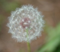 A matter of perspective (glovision) Tags: tag3 taggedout tag2 tag1 dof bestviewedlarge fluff dandelion frontyard vulnerable weedornot