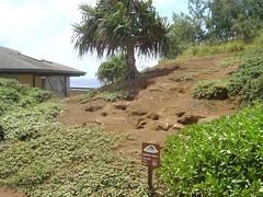 Kilauca Light Station - Bird breeding (JaBB) Tags: usa bird island hawaii islands unitedstates breeding kauai gardenisland lihue lightstation kilaucalightstation kilauca