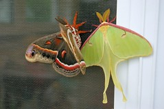 Luna Moth and Friend (-Nat) Tags: door red brown white black green june pretty moth 2006 screen luna cecropia cercropia
