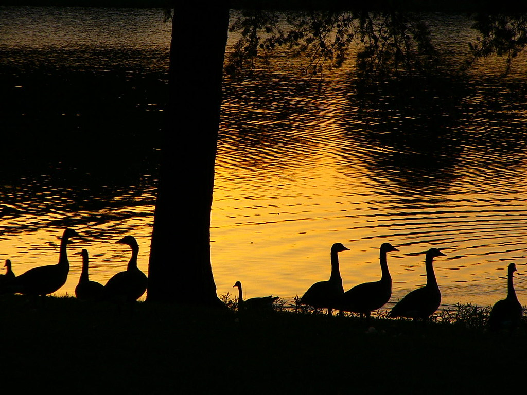 GEESE AT GOLDEN SUNSET