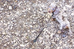 Baxter blends in (swellsome) Tags: dog puppy eric dachshund kari baxter dapple doxie wiener dog mini dachshund