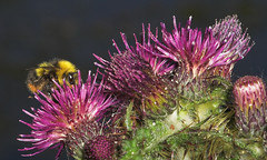 "Bumble Bee on a Thistle • <a style=""font-size:0.8em;"" href=""http://www.flickr.com/photos/57024565@N00/163557328/"" target=""_blank"">View on Flickr</a>"
