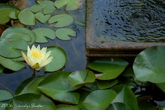 Water Lily (Jocelyn Bassler) Tags: wedding laura jeff water fountain topv111 interestingness pond topv555 topv333 lily jocelyn topv1111 been1of100 topv999 interestingness1 pad explore topv777 top20flower jocie scoreme36 cm079 exploretop20 jocieposse