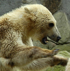 closeup fighting bear (bea2108) Tags: bear animal animals zoo