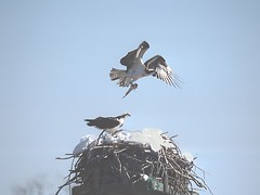 Hi honey, I'm home! (rovingmagpie) Tags: snow sushi osprey nesting featheryfriday specnature