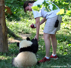 "Come on ""little monster"" (somesai) Tags: panda tian bach tai nationalzoo hi endangered pandas backview meixiang taishan dczoo butterstick pandaunlimited"