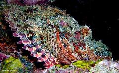 Scopion Fish (Borneo-Aquanerds) Tags: resort reef roach sabah