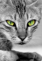 Green eyes (Ammar Alothman) Tags: portrait blackandwhite bw cats green eye 20d nature face look animal animals cat canon fantastic eyes flickr gulf wildlife canon20d pussy kitty almostbw kittens 2006 kuwait pussycat animalplanet kuwaitcity kw q8 canon100400 1on1 badluck payitforward  100400  123faves 3mmar  mscamerainfo bestofcats kuwaitvoluntaryworkcenter