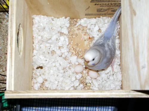 yavru muhabbet kuşu