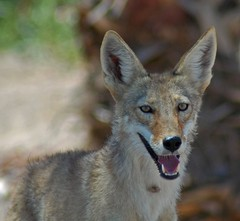 Female Coyote (Desert Vu) Tags: coyote animal specanimal coyotefemale animalbokeh honoringcoyotesmalsompassamaquoddypool