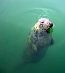 Seal (mimivk) Tags: ireland sea animals ilovenature seaside wildlife sealife seal seals wexford kilmore kilmorequay animalkingdomelite abigfave