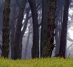 Tangled in Fog (Sharon Mollerus) Tags: sanfrancisco trees mist fog grove landsend cypress 50v5f 123nature