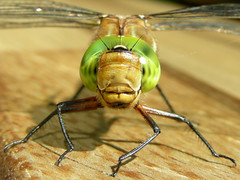 Dragonfly closeup (Marrrcelll) Tags: macro green netherlands face closeup insect eyes dragonfly explore thehague odonata libel specanimalbestshot aeshnaviridis groeneglazenmaker greenhawker dutchtop100 marrrcelll