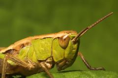 "Common Green Grasshopper (Omocestus v(2) • <a style=""font-size:0.8em;"" href=""http://www.flickr.com/photos/57024565@N00/178316257/"" target=""_blank"">View on Flickr</a>"