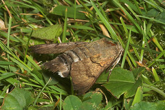 "Hummingbird Hawkmoth (Macroglossum St(5) • <a style=""font-size:0.8em;"" href=""http://www.flickr.com/photos/57024565@N00/178547438/"" target=""_blank"">View on Flickr</a>"