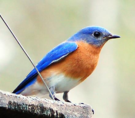 Blue Bird by cbgrfx123.