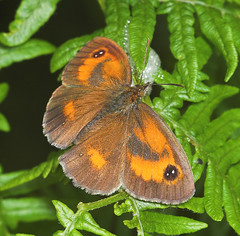 """Gatekeeper Butterfly (pyronia tithonu(3) • <a style=""""font-size:0.8em;"""" href=""""http://www.flickr.com/photos/57024565@N00/183996170/"""" target=""""_blank"""">View on Flickr</a>"""