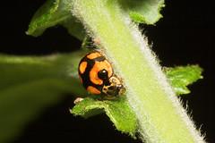 "16-Spot Ladybird (micraspis 16-punctata) • <a style=""font-size:0.8em;"" href=""http://www.flickr.com/photos/57024565@N00/184022578/"" target=""_blank"">View on Flickr</a>"