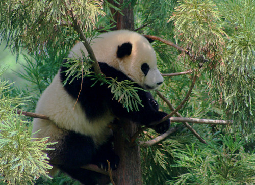 Tai Shan, National Zoo's Panda Cub at 1 year old