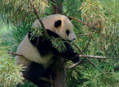 Tai Shan, National Zoo's Panda Cub at 1 year old
