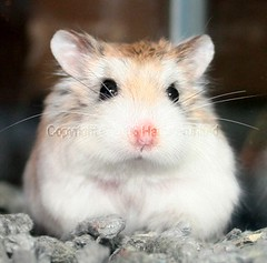 Staring blankly into space..... (hamsterunited) Tags: pet cute animal furry hammy robo dwarfhamster roborovskis xgf02