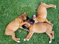 Moses and his Brothers (invisibleElement) Tags: dog puppy moses fawn boxer