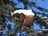 BN0827 Pinecones (listentoreason) Tags: trees plant nature geotagged favorites places workplaces score50