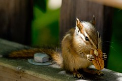 Sonoma chipmunk (Heather Leah Kennedy) Tags: california animal rodent squirrel chipmunk muirwoods striped sonomachipmunk