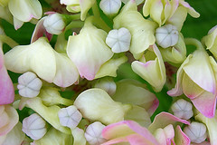 in the heart of vegetal (christing-O-) Tags: pink white flower macro yeux hydrangea hortensia