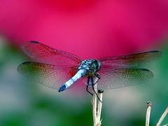 Aiming toward the mark (j_jyarbrough) Tags: red usa nature georgia insect interestingness dragonfly bokeh quality explore oneyear iloveit specnature specanimal jjyarbrough animalkingdomelite wowwwwwwww fcdf thisphotoisthepropertyofjjyarbroughjohnyarbroughpleasedonotusewithoutmypermissionthankyou