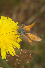 """Small Skipper Butterfly (thymelicus sylvestris) • <a style=""""font-size:0.8em;"""" href=""""http://www.flickr.com/photos/57024565@N00/193367728/"""" target=""""_blank"""">View on Flickr</a>"""