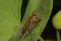 "Robberfly • <a style=""font-size:0.8em;"" href=""http://www.flickr.com/photos/57024565@N00/193467504/"" target=""_blank"">View on Flickr</a>"