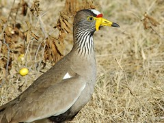 Wattled Lapwing (Makgobokgobo) Tags: africa bird lapwing botswana plover okavango duba okavangodelta vanellus interestingness424 i500 vanellussenegallus wattledlapwing dubaplains animalkingdomelite wattledplover