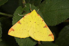 "Brimstone Moth (opisthograptis luteolata) • <a style=""font-size:0.8em;"" href=""http://www.flickr.com/photos/57024565@N00/194650694/"" target=""_blank"">View on Flickr</a>"