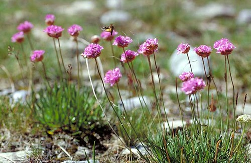 Thrift (Armeria alpina)