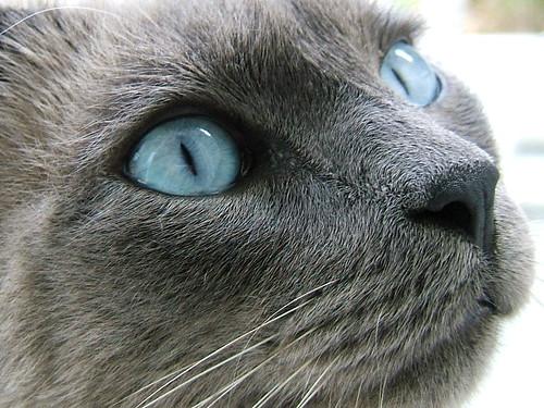 Shinepaw - russian blue tom