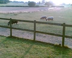 Betty the pig and the sheep